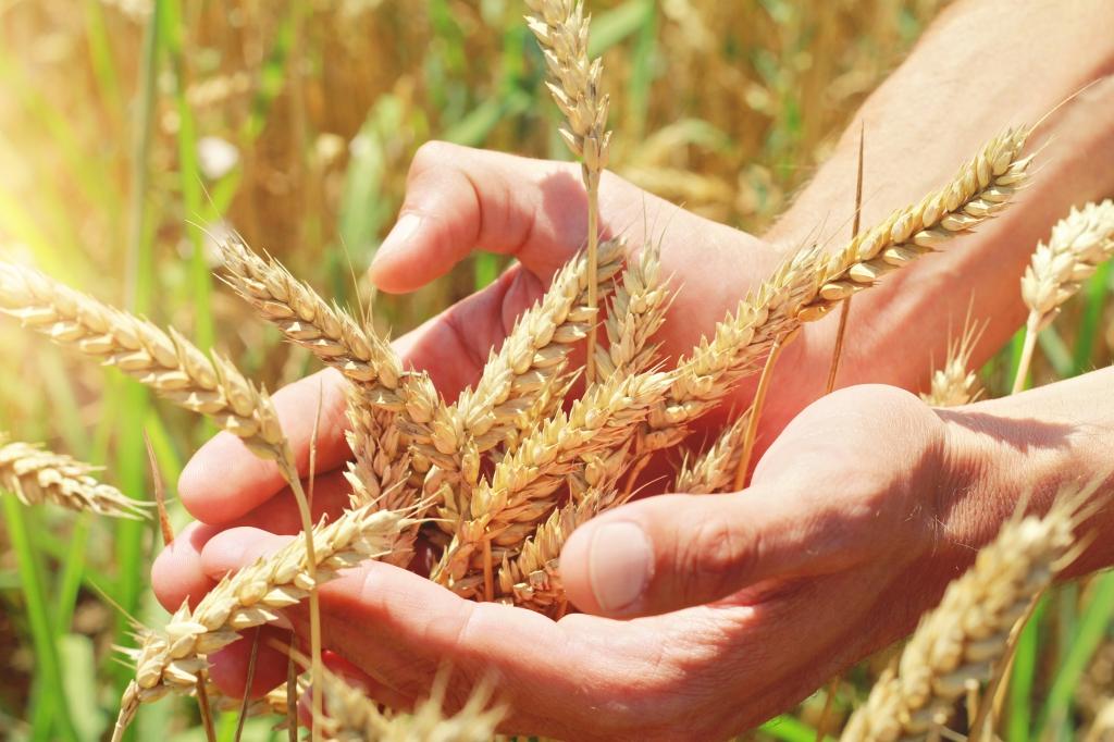 Semence bio maïs Active Bio négociant en céréale bio