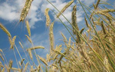 Récolte de blé bio 2020: Deux points de vue différents.
