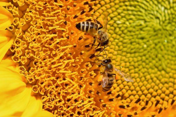 Abeille sur tournesol l'agriculture bio - Active bio négociant en céréales biologiques
